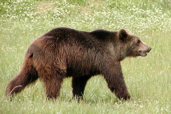 Femeie atacată de un urs, în timp ce se afla cu vitele la păscut, în zona Ohaba Ponor