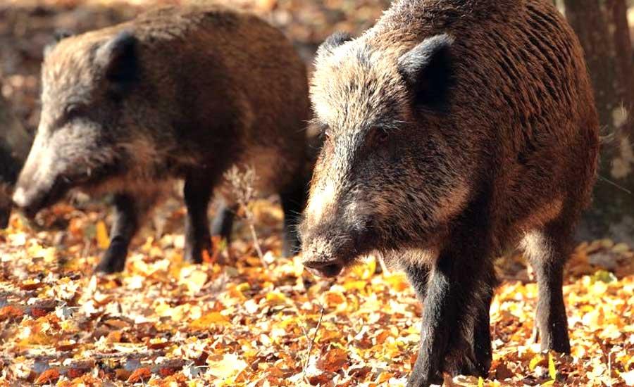 BREAKING NEWS: S-a confirmat pesta porcină la mistreți, În Valea Jiului
