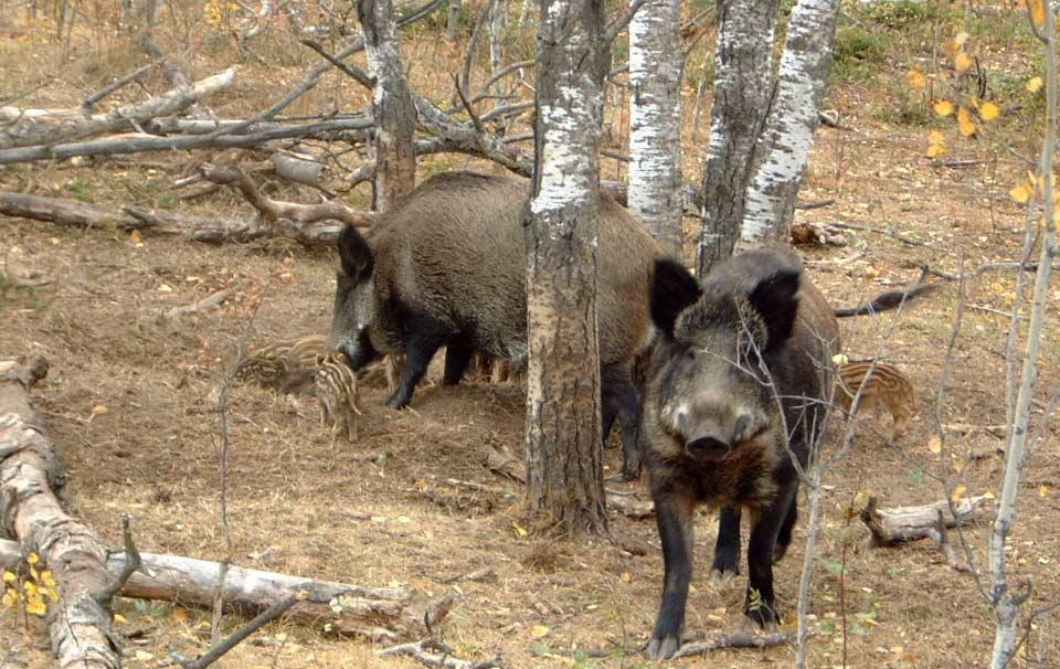 Breaking news: Suspiciuni de pestă porcină la un mistreț găsit pe un fond de vânătoare din Valea Jiului