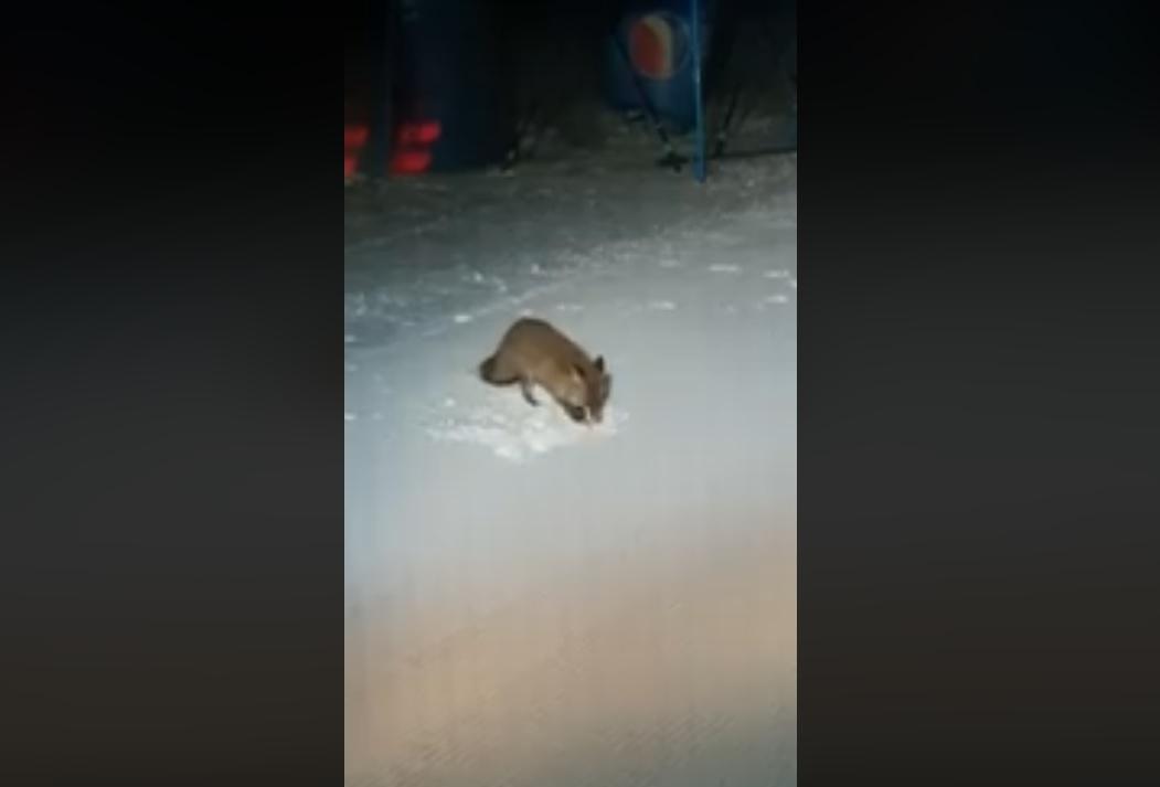 """VIDEO: Platoul Soarelui din Straja, """"inspectat"""" de o vulpiță"""