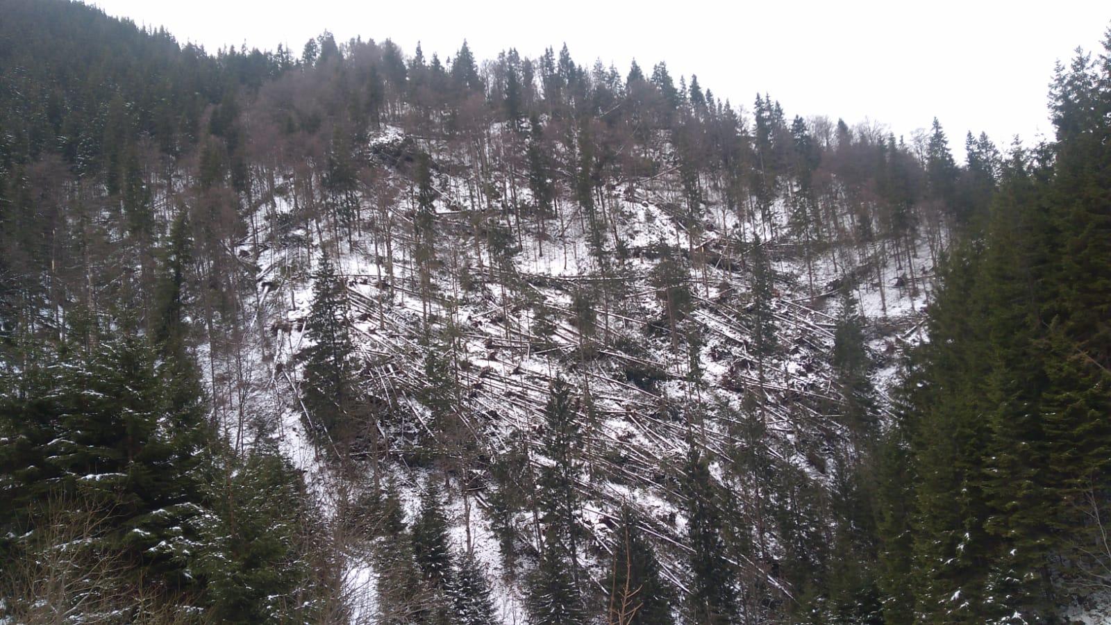 Aproape 100 de hectare de pădure puse la pământ, de vânt, în Parâng