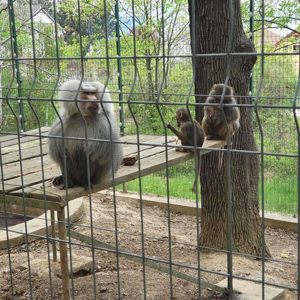 """Se redeschid porțile la """"Zoo"""" Hunedoara. Vedeta locului, un pui de babuin născut în captivitate în urmă cu un an"""