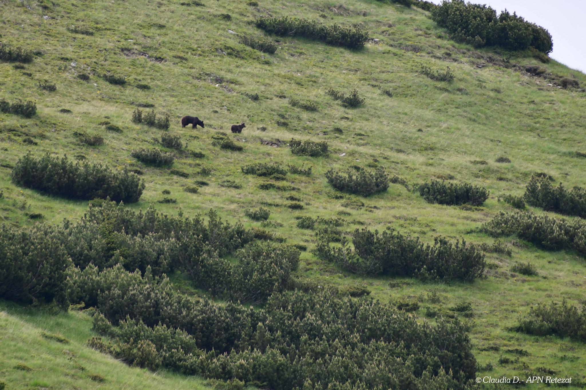 VIDEO| Ursoaică și puiul ei, surprinși la plimbare în Parcul Național Retezat