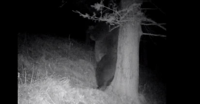 Imagini amuzante cu un urs, surprinse în Parcul Național Retezat
