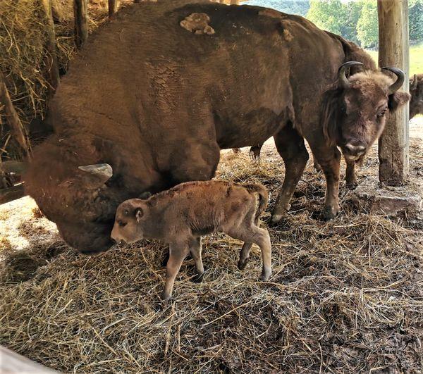 FOTO- Rezervaţia de zimbri de la Haţeg are un nou membru. Românaş, puiul adus pe lume în duminica Rusaliilor