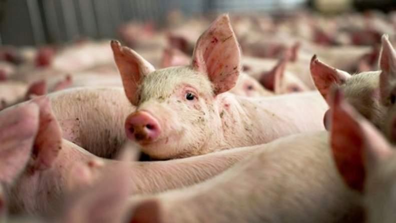 Focar de pestă porcină africană la o fermă din Turdaș. Toți porcii din exploatație, uciși